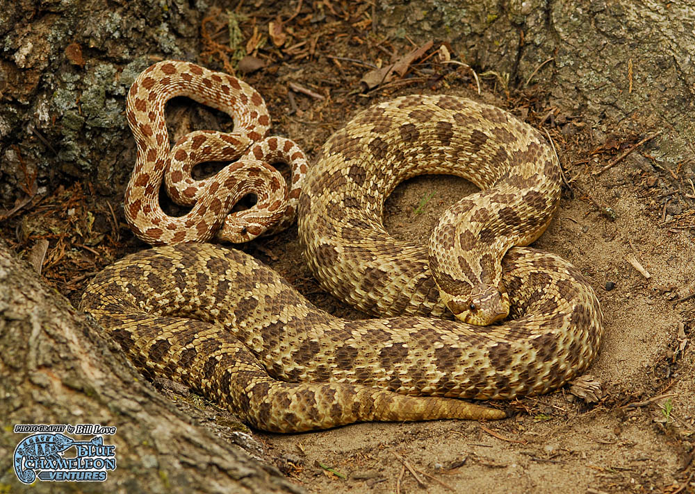 Adult Western Hognose Snake