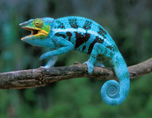 Blue Nosy Be Panther Chameleon